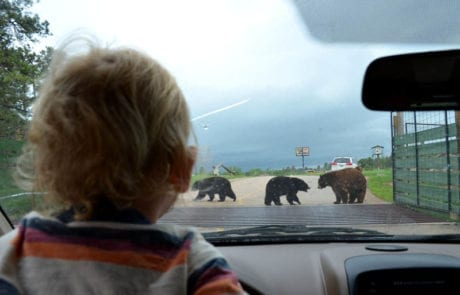watching bears from inside a car